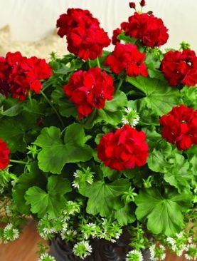 Pelargonija Calliope DARK RED