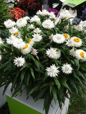 Suha roža WHITE