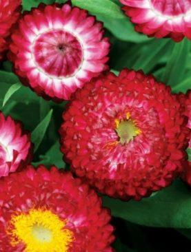 Suha roža ROSE