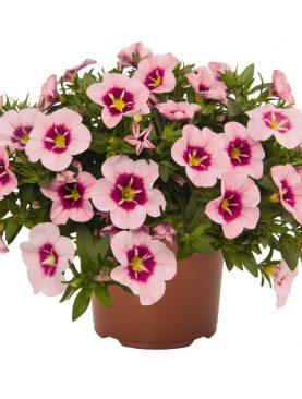 Milijon zvončki Florastic ROSE EYE