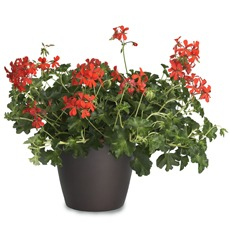 Pelargonija viseča VDP Decora RED