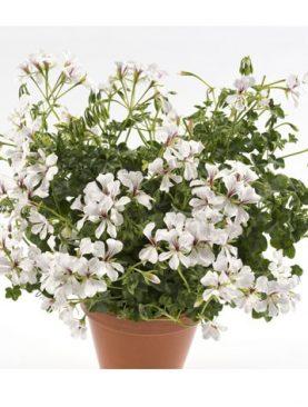 Pelargonija viseča VDP DRESDEN / WHITE