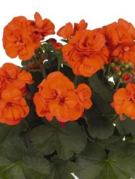 Pelargonija Zonale Africana OH SO ORANGE