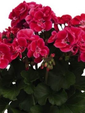 Pelargonija Zonale Mexicana FIRE