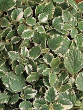 Plechtrantus