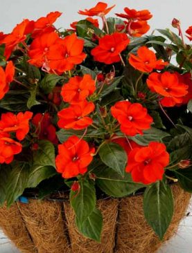 Vodenka N.G. Sunpatiens ELECTRIC ORANGE