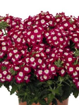 Verbena DARK RED CHARME