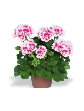 Pelargonija Zonale FF WHITE SPLASH