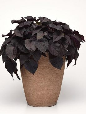 Sladki krompir / Ipomea BLACK