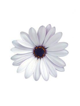 Kapski meseček / Osteospermum WHITE
