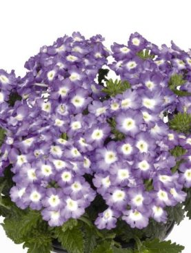 Verbena PURPLE CHARM