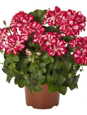 Pelargonija dvojna Ocean RED STAR