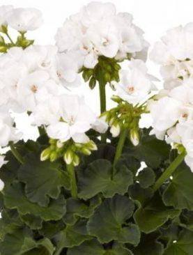 Pelargonija Zonale WHITE