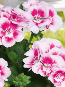 Pelargonija Zonale TwoOne WHITE SPLASH