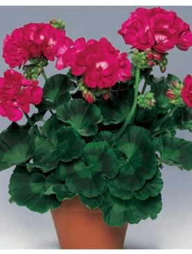 Pelargonija ZoNice Schocking VIOLET