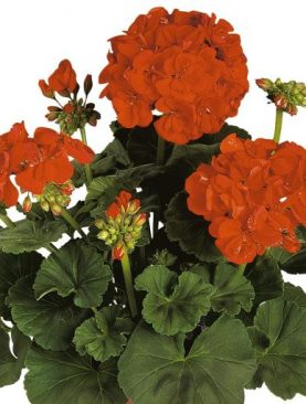 Pelargonija Zonale Green RED