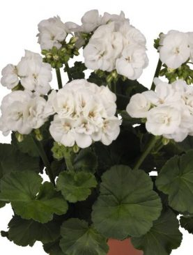 Pelargonija Zonale Green WHITE