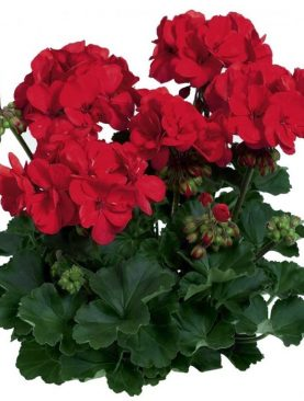 Pelargonija Zonale DARK RED