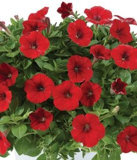 Petunija Little BRIGHT RED