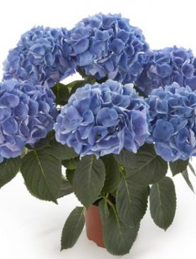 Hortenzija RATHEN BLUE