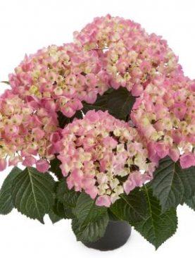 Hortenzija STYLE PINK