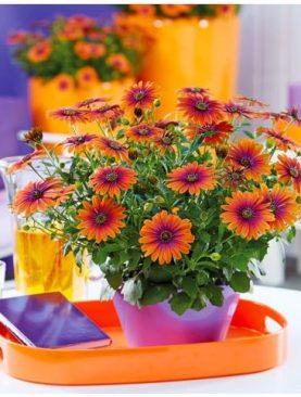 Kapski meseček / Osteospermum FlowerPower PURPLE SUN