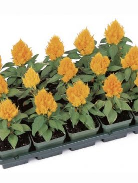 Petelinji greben / Celosia YELLOW