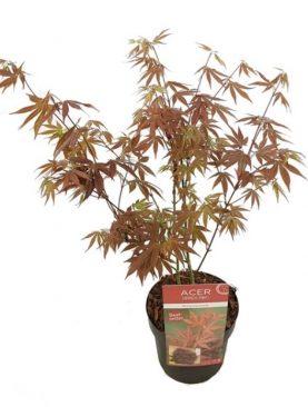 Acer Palmatum Antropurpureum Red - Rdečelistni japonski pahljačasti javor