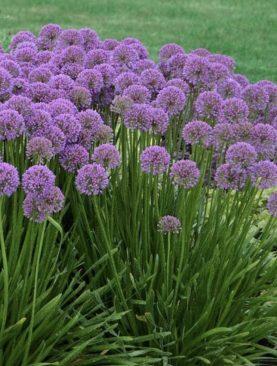 Allium Millenium Purple - Okrasna čebula