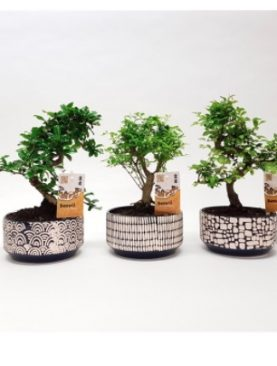 Bonsai Japan Mix