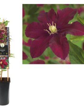 Clematis Niobe Red / Vrtni srobot