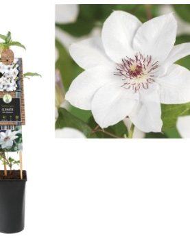 Clematis Miss Bateman / Vrtni srobot