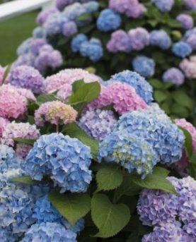 Hydrangea / Hortenzija