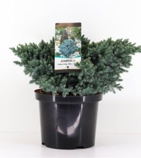 Juniperus sq. Blue Star / Brin