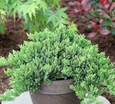 Juniperus proc. Nana / Brin