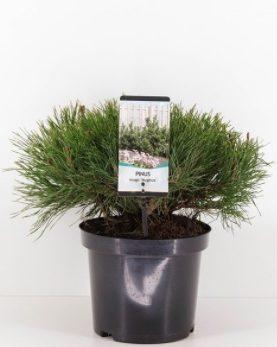 Pinus mugo Mughus / Bor