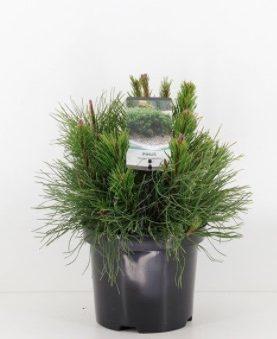 Pinus mugo Pomilio / Bor