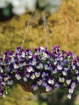 Mačeha viseča Purple White