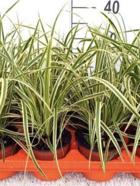 Japonski šaš - Carex morrowii