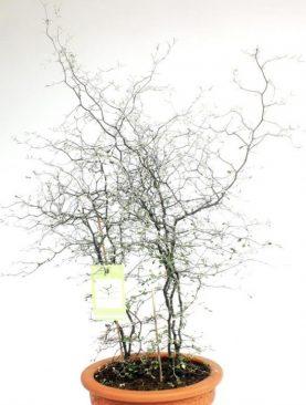 Korokia - Corokia Cotoneaster
