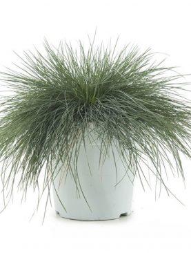 Sinjezelena bilnica - Festuca Glauca