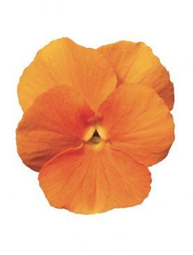 Mačeha Tangerine Mini
