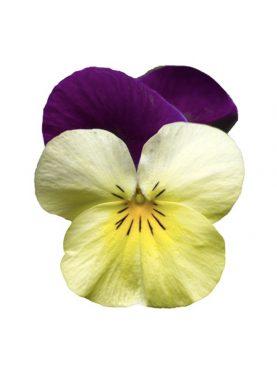 Mačeha Yellow Violet Mini