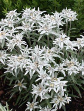 Planika / Leontopodium Alpinum