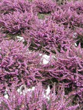 Resa - Erica darleyensis mix