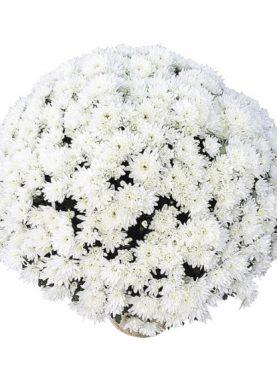 L. Krizantema Multiflora Coco