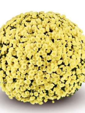 L. Krizantema Multiflora Cream