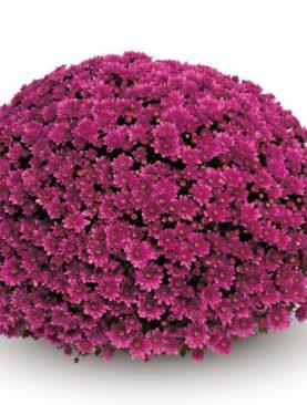 L. Krizantema Multiflora Purple