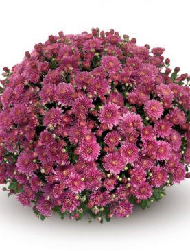 L. Krizantema Multiflora Violet