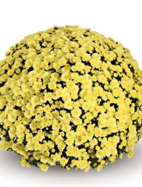 L. Krizantema Skyfall Yellow